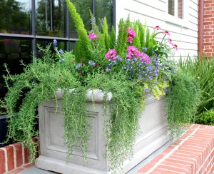 prostrate rosemary planter