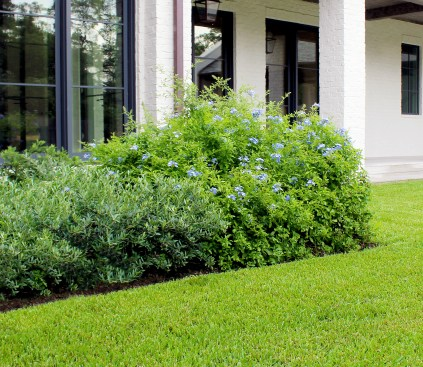 Cape Plumbago and Olive hedge