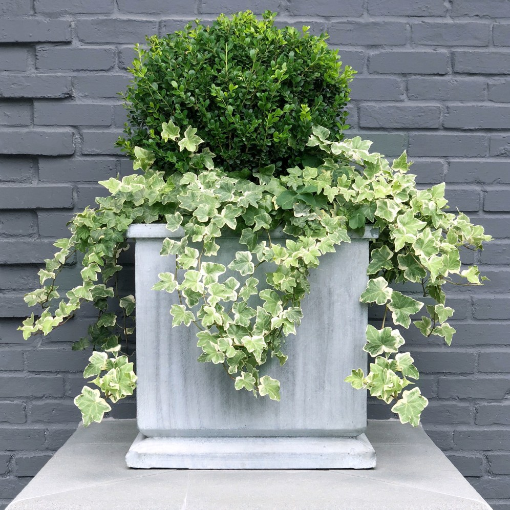 Boxwood Globe in planter with ivy