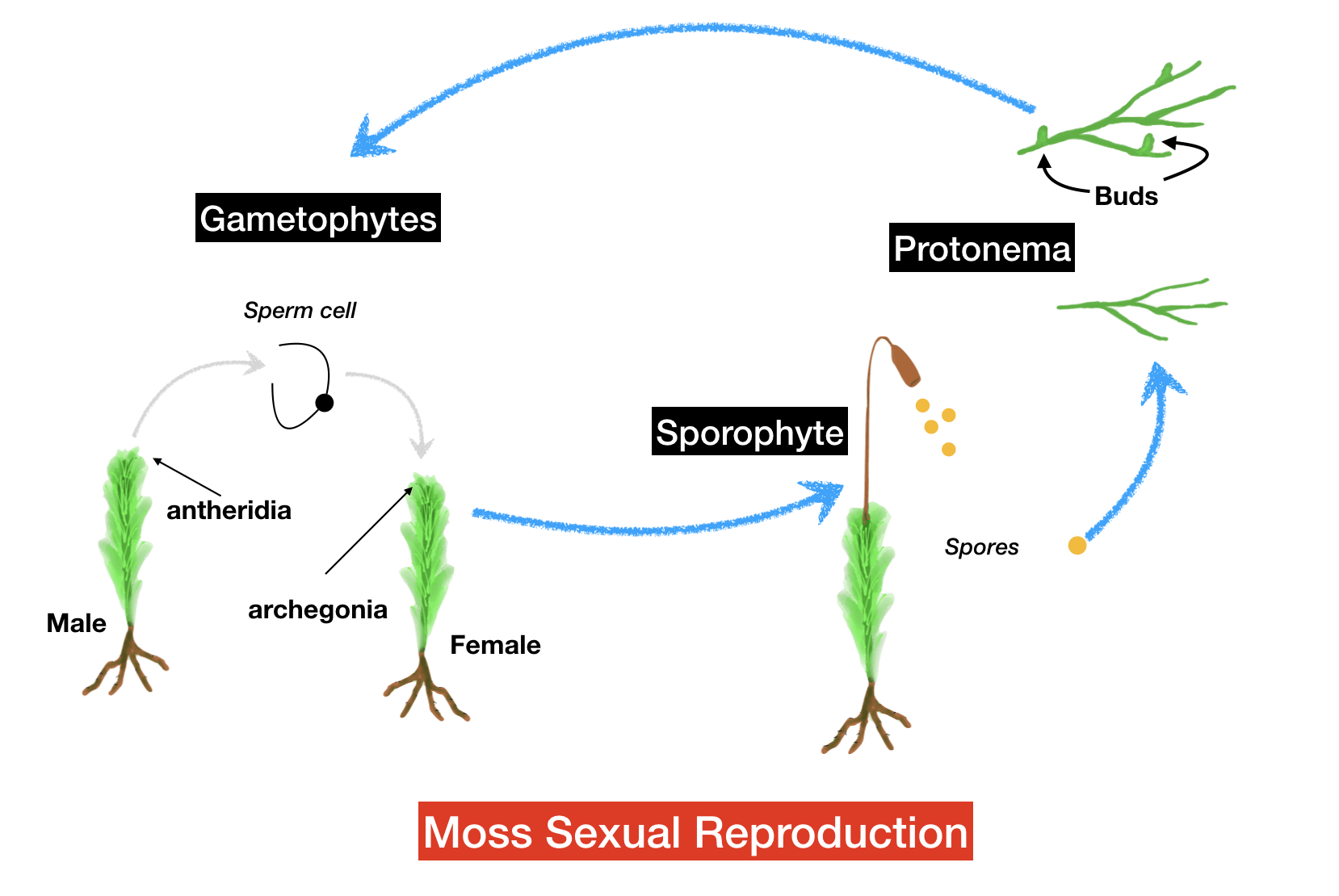 how does moss reproduce? the life cycle of moss moss lovers Moss Spore Cluster