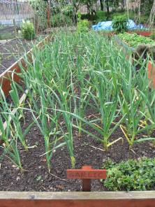 onions looking happy