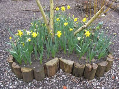 lovely spring daffs