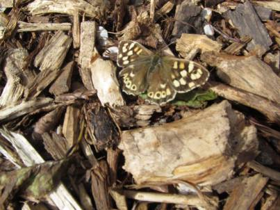 a speckled wood butterfly who came to visit us