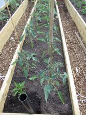 tomatoes on their way in the polytunnel