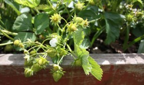 cropped-green-strawberries.jpg
