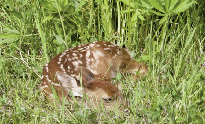 strategies for reducing fawn mortality