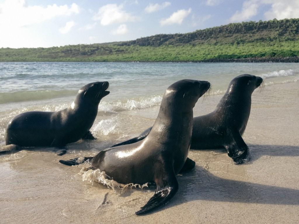 Galapagossealions