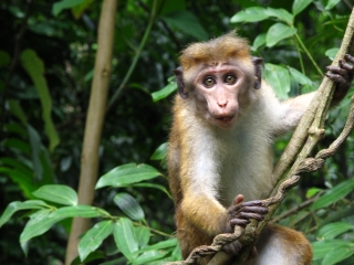 Curious monkey in the Kandy rainforest park