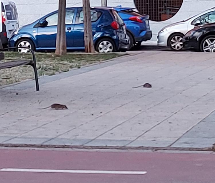 """Los vecinos de la calle Orión denuncian la proliferación de ratas y la concejala de Derechos Sociales propone """"contratar al flautista de Hamelín"""""""