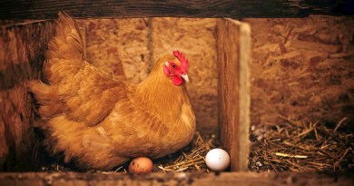 Los huevos de gallinas libres partieron en Chile como un producto de nicho. Pero hoy esa realidad es completamente diferente