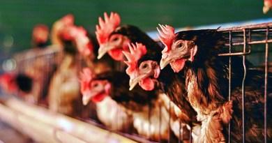 La ONG internacional Sinergia Animal lanzó su reporte de seguimiento a 60 empresas alimentarias comprometidas con el bienestar animal.