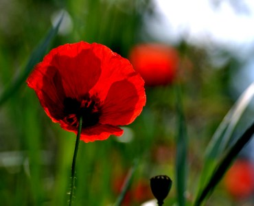red poppy in a field anzac day image