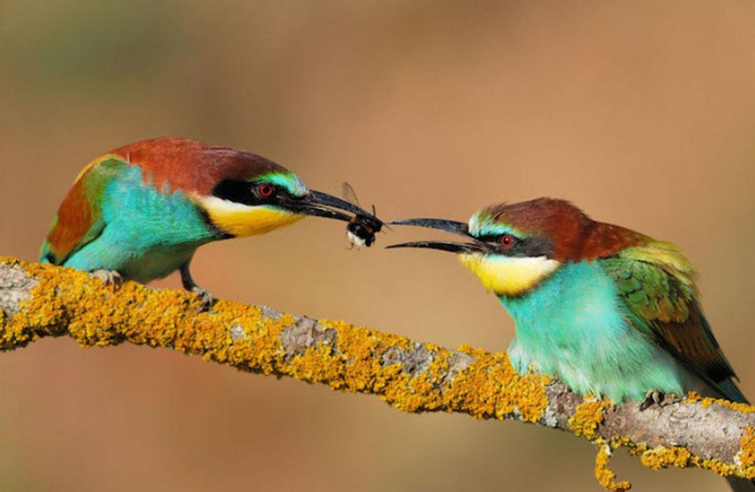 Photo de deux oiseaux colorés sur une branche qui se transmettent un insecte de bec à bec - référence