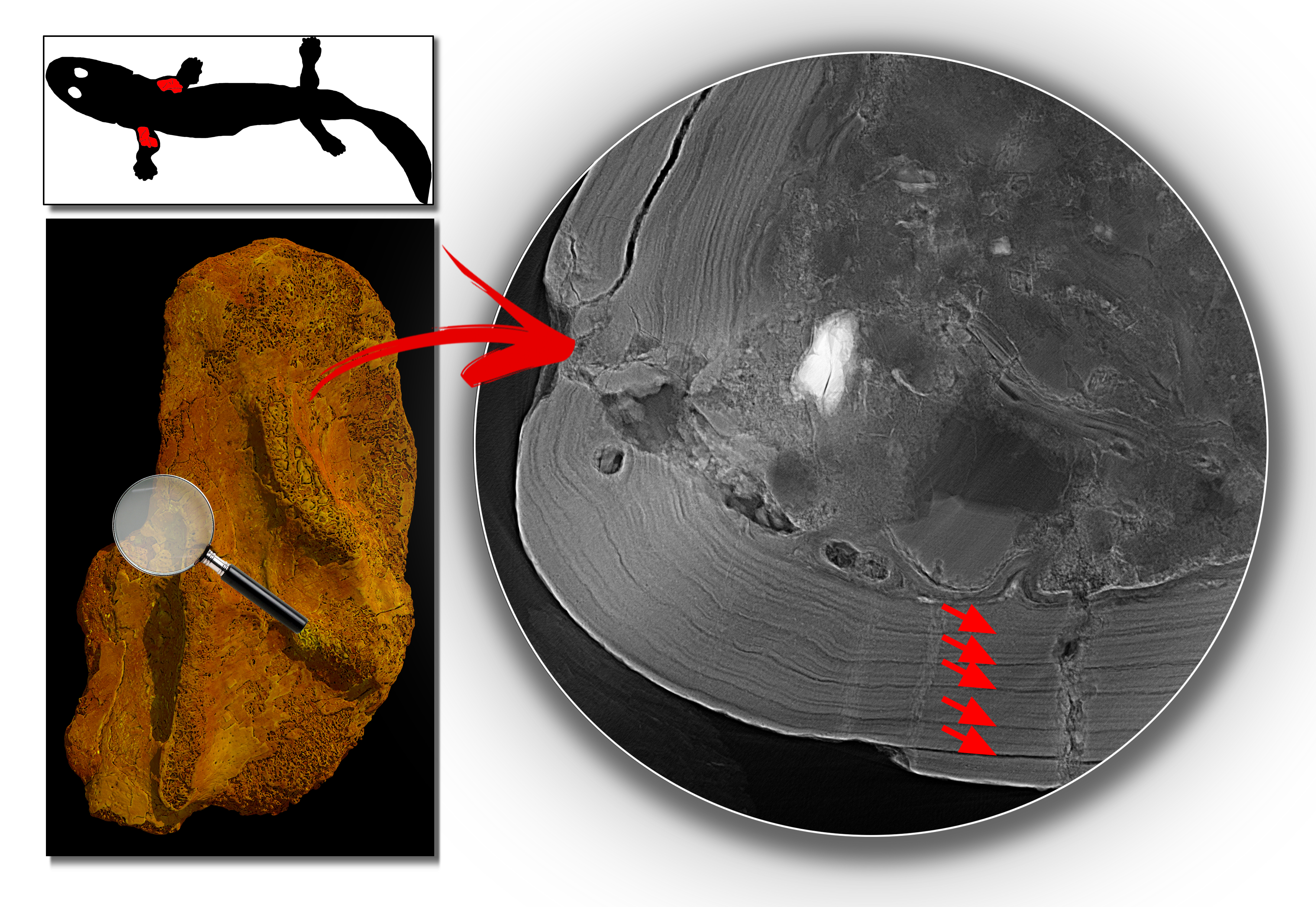 A diagram showing the tetrapod humerus (left) and the growth rings the synchrotron revealed inside of it, indicated by arrows (right). Image: Sophie Sanchez
