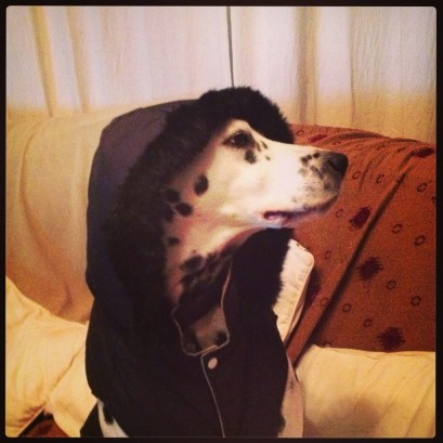 My Dalmation in his hoodie