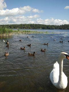 Swans n' ducks