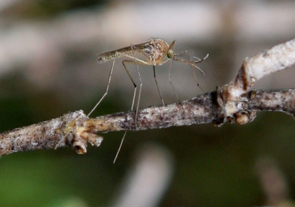 A mosquito sits on a stick April 9th, 2009, in Martinez, California.