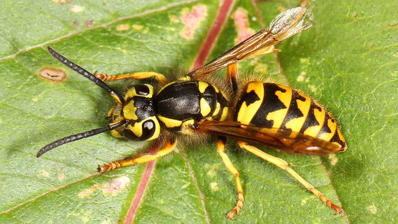 Winged yellow insect with distinct black stripes, yellow legs, and black antennae.