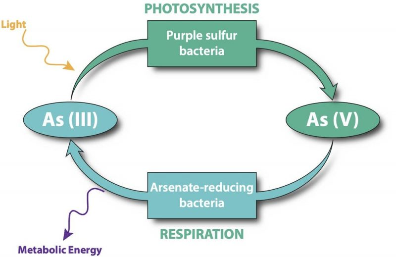 Diagram of respiration cycle with two kinds of bacteria and arsenic byproducts labeled.