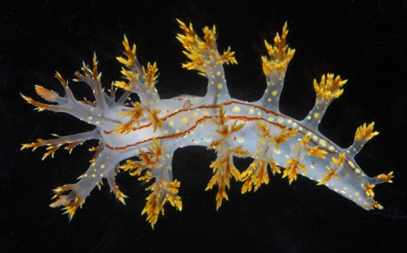 Long translucent creature with short arms along its body with many gold spikes at their ends.
