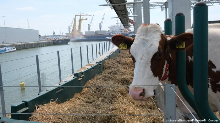 A cow freeds on hay aboard a floating farm in Rotterdam's harbor