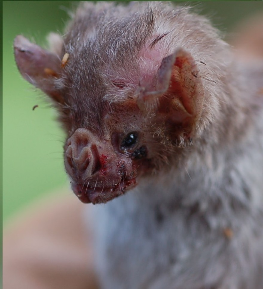 Close-up of a rabid vampire bat with an angry blood-covered face.