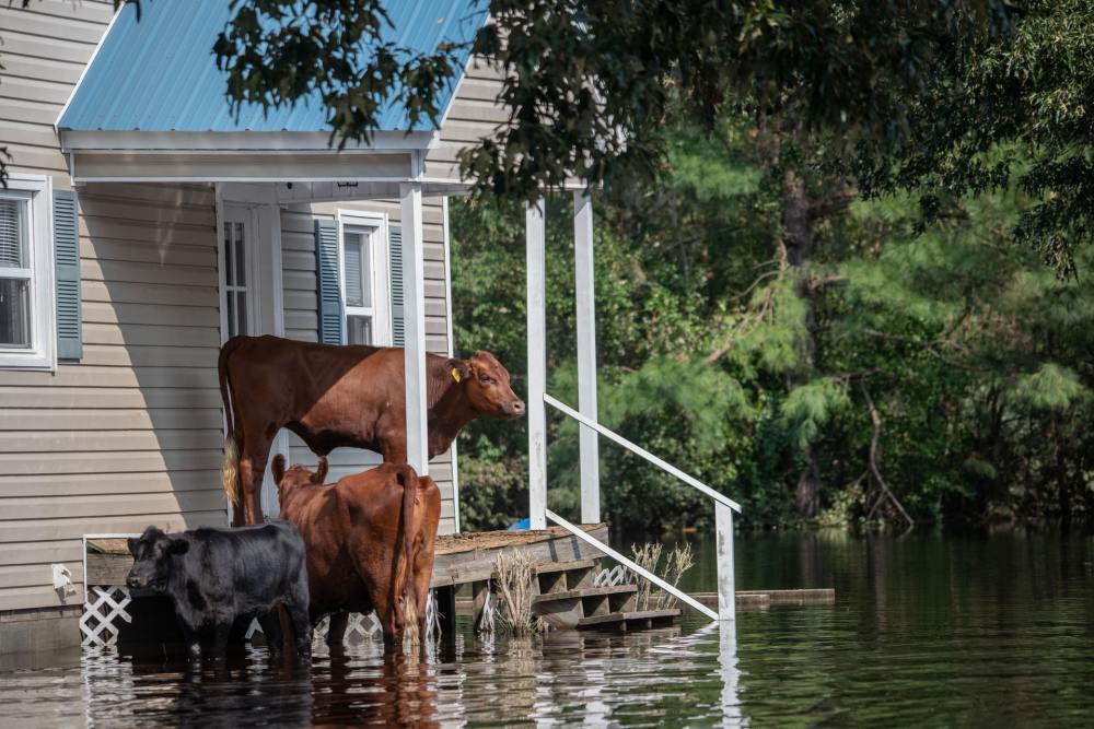 Th3 2021 IPCC report: Cows on porch surrounded by water.