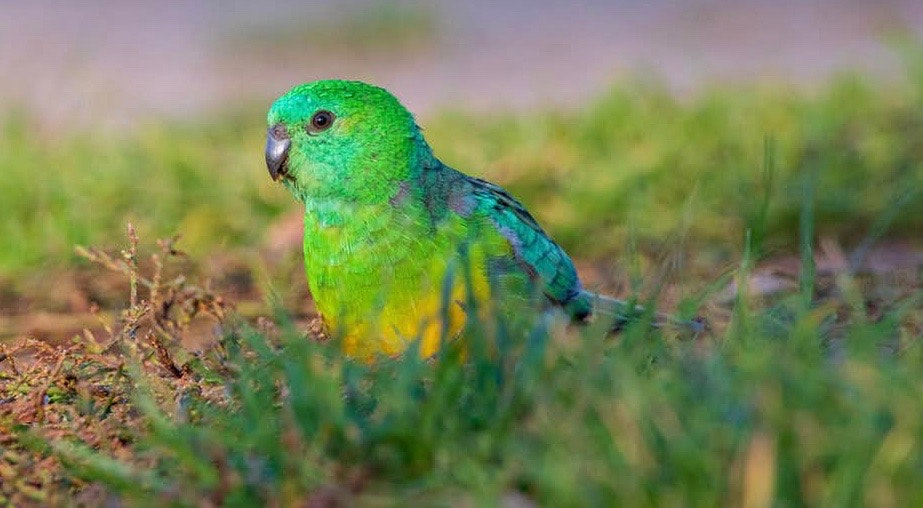 parrot in grass