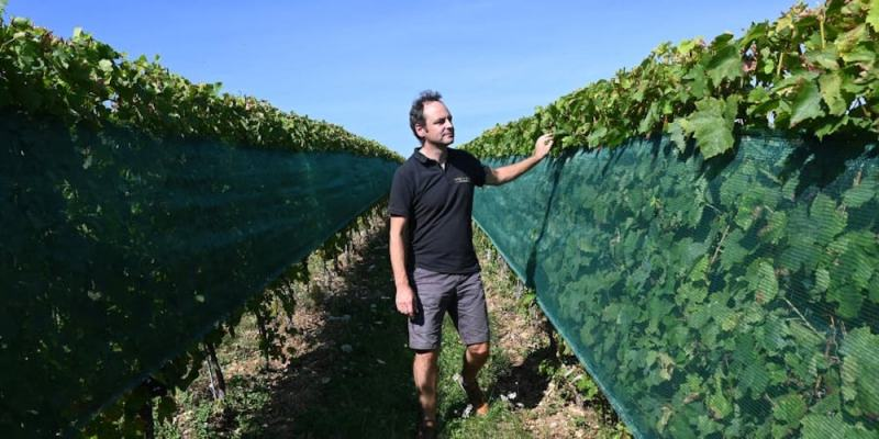 French director of the wine research centre, SICAREX Beaujolais, Bertrand Chatelet poses in a vineyard covered by anti-hail nets in Liergues, region of Beaujolais. — AFP pic
