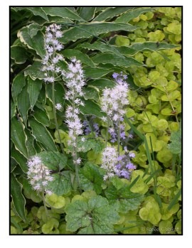 Foamflower (Tiarella sp.) with Hosta 'Stiletto', ajuga and golden creeping Jenny.