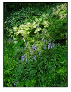 Hosta 'Stiletto' with Hosta 'Janet' and Hosta Albomarginata