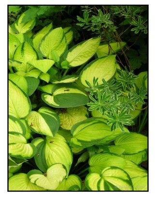 Hosta 'Janet' with Daphne