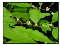 Honeybee on Winterberry Holly