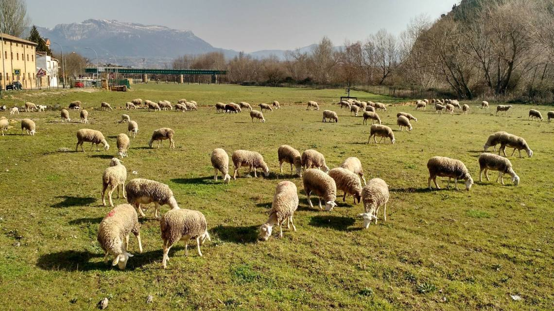Happy sheep grazing by the Tirón