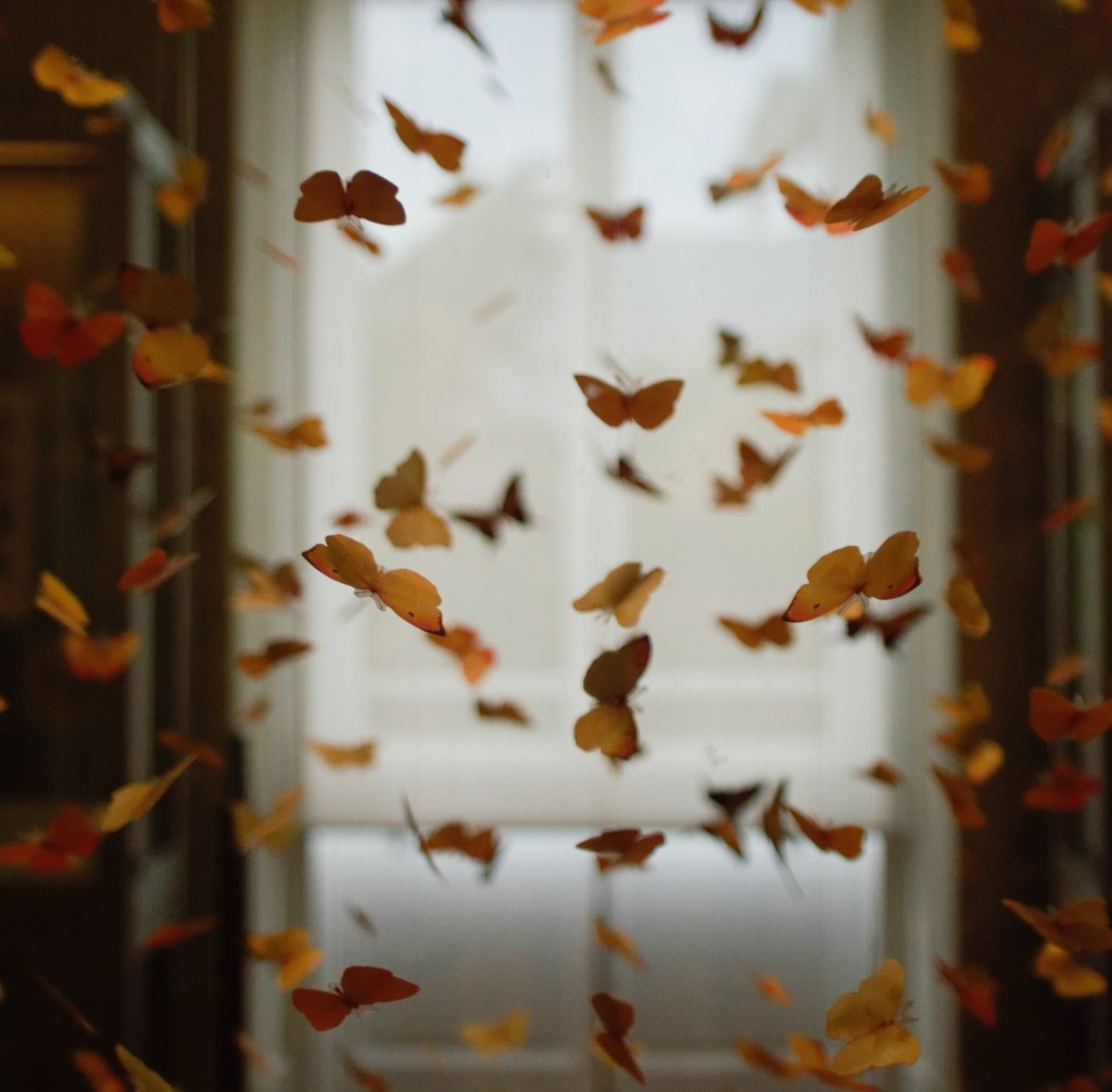 Orange butterflies flying inside a home with white curtain covering a long window in backdrop
