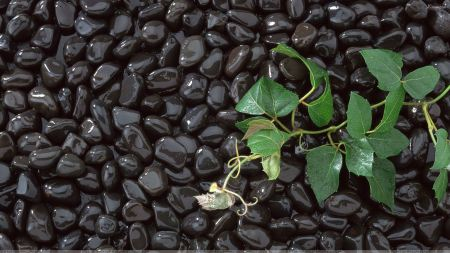 Close up on shiny black stones with a green leafy sprout coming from the ground beneath