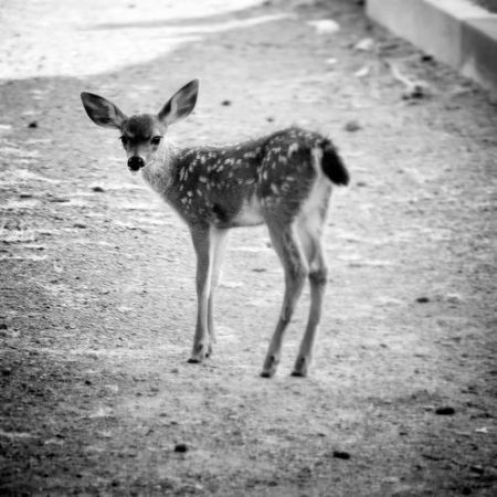 Black and white image of baby deer looking at straight on