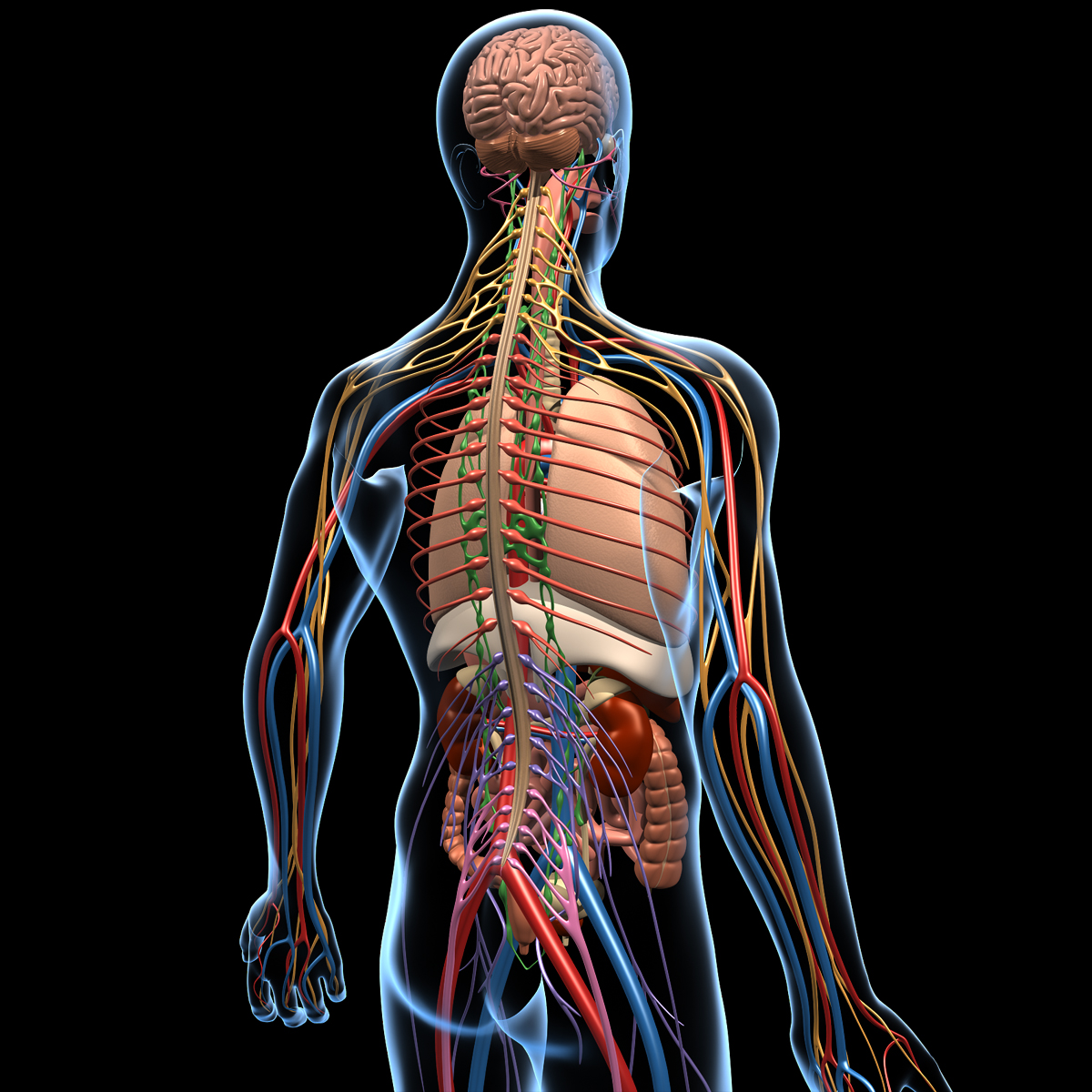 Human Anatomy Brain Amp Nervous System Motioncow