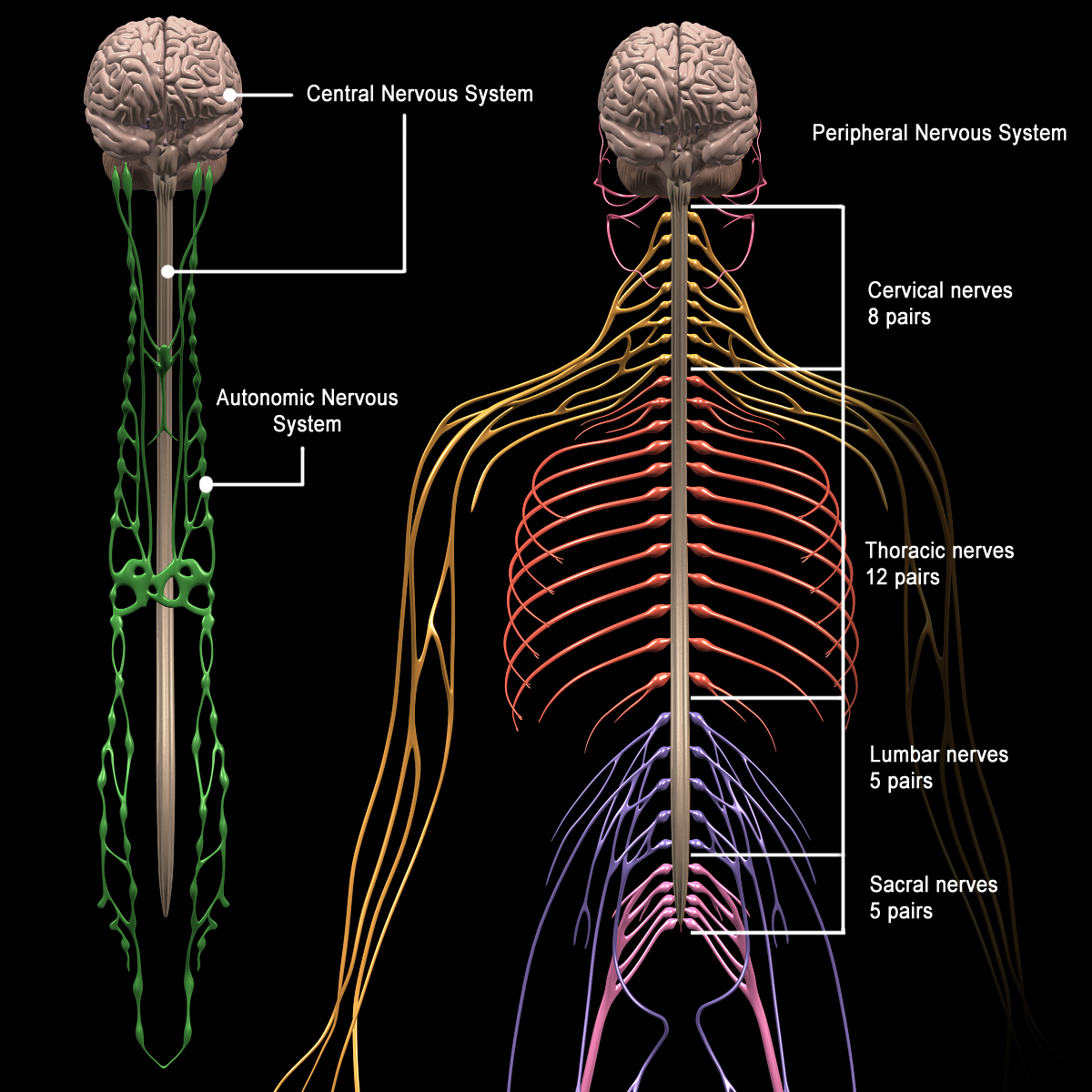 Human Anatomy Brain Amp Nervous System Motioncow