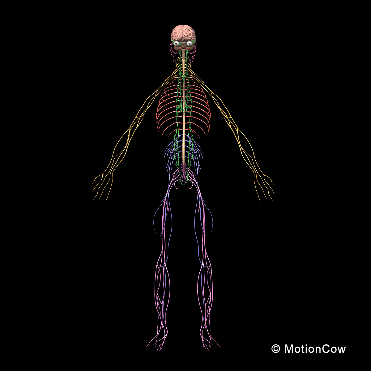 Skeleton Amp Nervous System Motioncow