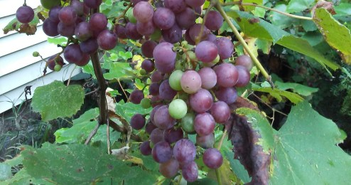 For healthy living and eating and drinking use Natures's Water Filter - Grapes!