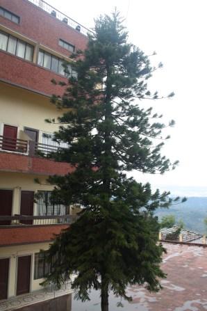 The tree at Hotel Shikhar