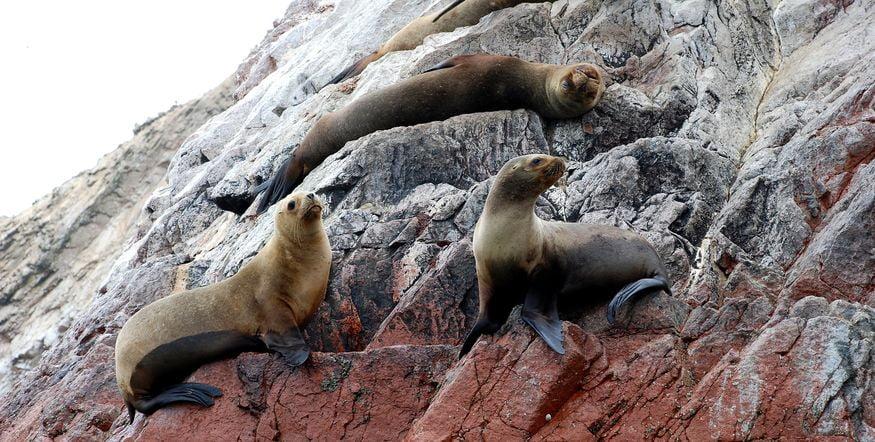 Морские львы в парке Паракас в Перу