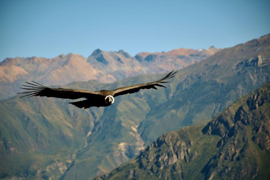 Андский кондор в полете в горах долины реки Колка