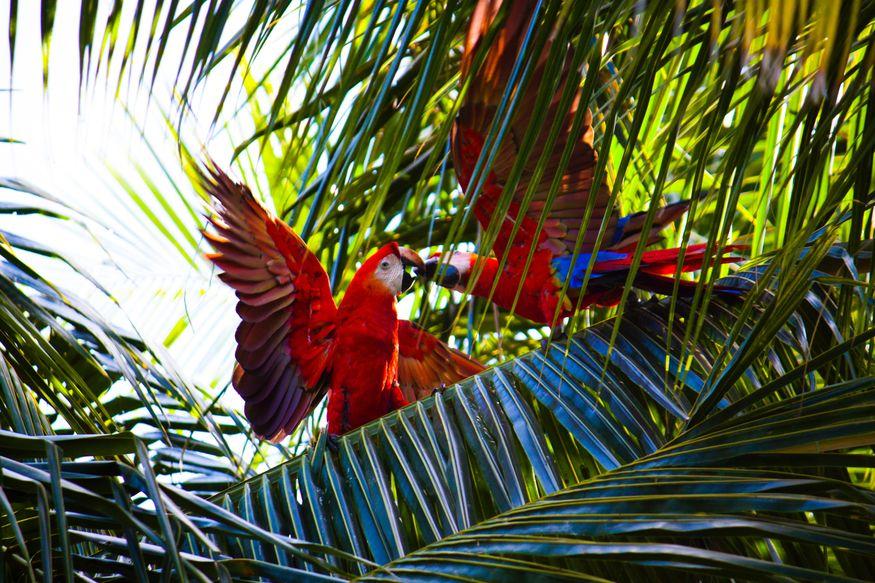 Красные попугаи ара дерутся в пальмовых листях