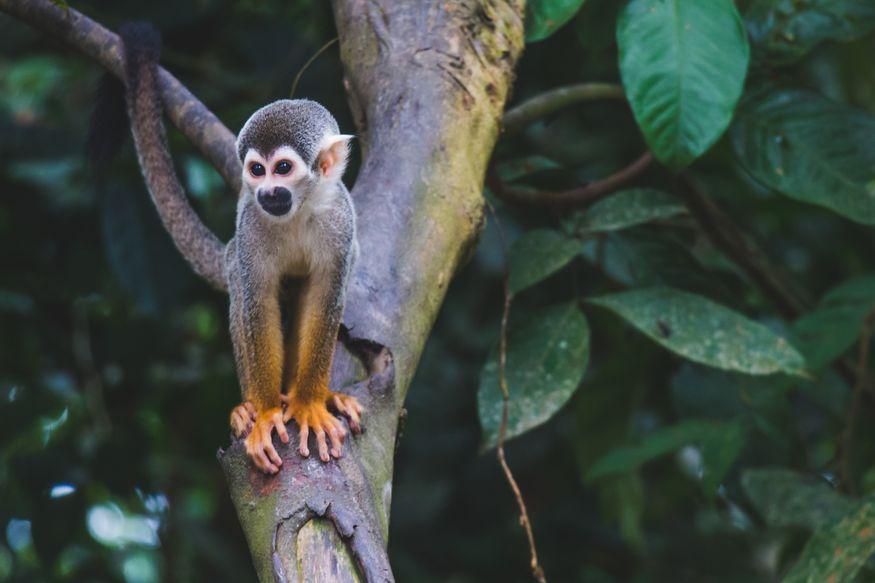 Обезьянка в дикой среде - животные Амазонки
