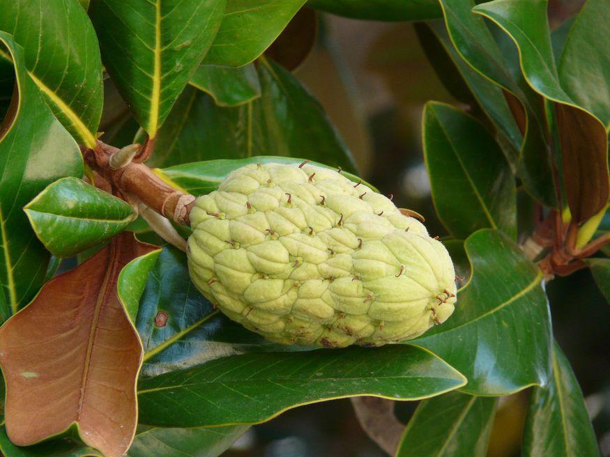 Плод бразильской гевеи каучук