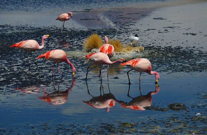 Фламинго Боливия