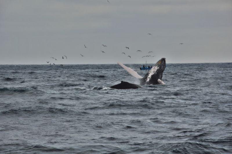 Прыжок - горбатые киты