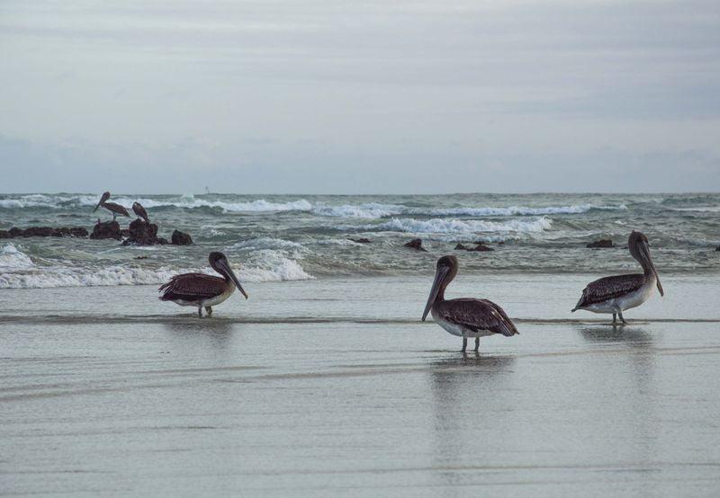 Галаспагосские пеликаны